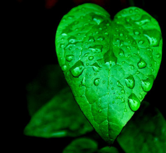 heart shaped green leaf with raindrops