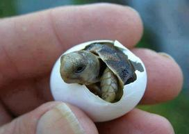 a little turtle birthing