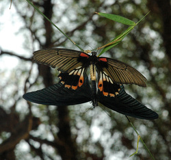butterfly lovemaking