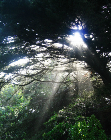sunlight streaming through tree canopy